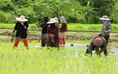Cambodia rice planters
