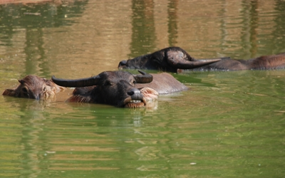 Water buffalo chilling out