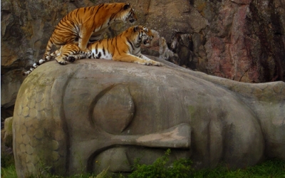 Tigers in temple on Buddhas heads